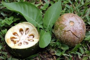 Nilavembu-bael-fruit-wood-apple