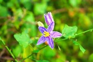 solanum-trilobatum-plant-with-flower-thuthuvalai