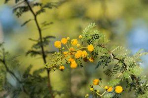 Babul Tree-Acacia Tree-Acacia nilotica-Babool-Babur