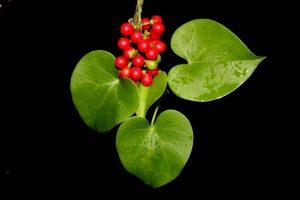 Heart_Leaved_Moonseed-giloy-guduchi