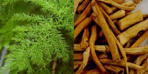 Asparagus racemosus-shatavari-thaneervittan kilangu