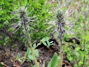Kutki-picrorhiza-kurroa-kadugurohini