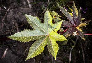 Amanakku-castor-plant-benefits