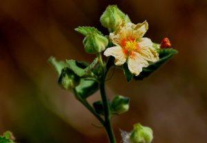 Paniyar-Tuttul-bala-benefits-sida-cordifolia