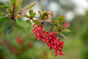 gangeti-indian-barberry-health-benefits