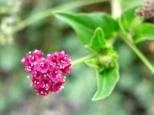 Punarnava-Boerhavia-diffusa-mukkirattai-keerai