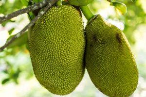 Palapalam-jackfruit-benefits