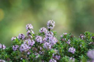 thyme-benefits-medicinal-uses