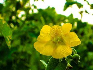 Thuthi-benefits-piles-abutilon-indicum