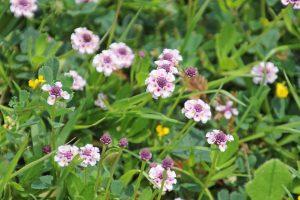 Poduthalai-Phyla-Nodiflora-Benefits