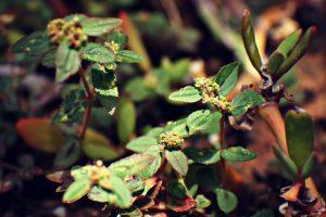 amman-pachharisi-asthma-plant-medicinal-uses