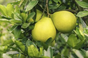 Pambalimas-Pomelo-Fruit